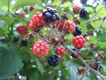 brambleberry