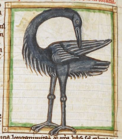 grey ibis