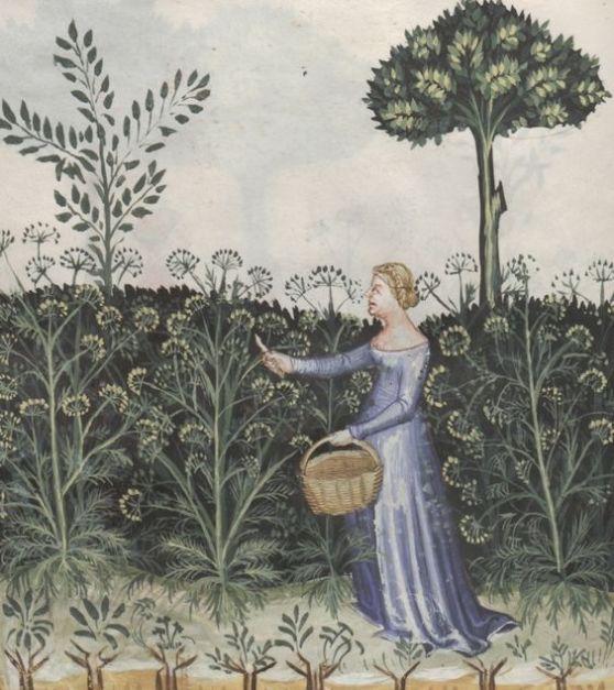 Ganze Seite: Miniatur (Eine Frau erntet Fenchel - Feniculus)