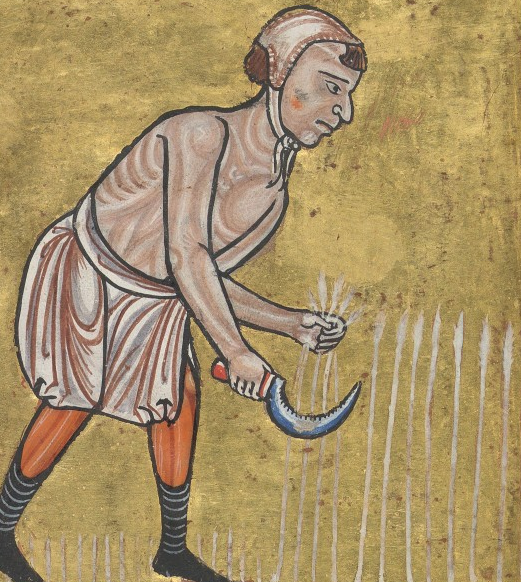 Medieval manuscript image of a man reaping waist-high grain with a sickle.