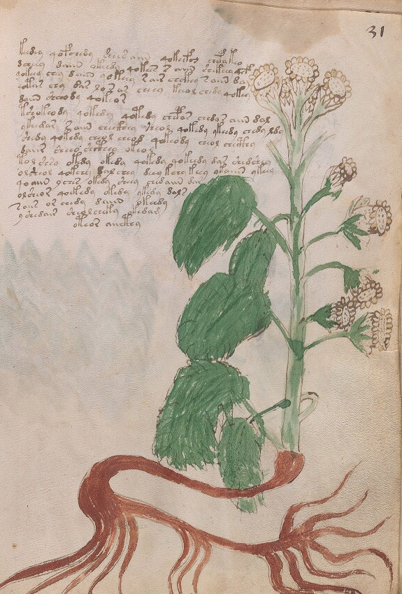 Medieval manuscript illustration of a flowering plant, possibly with fruits, and a handwritten paragraph in an unidentified language.