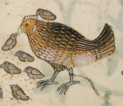 Medieval manuscript of a chicken and her chicks pecking at seeds; one chick sits on the mama hen's back.